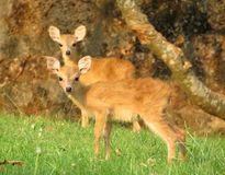 Two four horned antelope fawn Royalty Free Stock Image