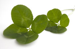 Two, four leaf clovers Royalty Free Stock Photo