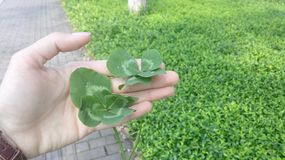 Two four leafed lucky clovers stock photo