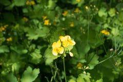 Two four-petaled yellow flowers of Chelidonium. Two four petaled yellow flowers of Chelidonium stock photo