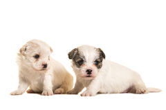 Two four weeks old boomer puppies sitting Royalty Free Stock Images
