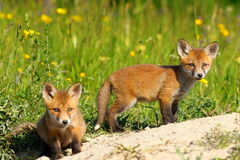 Two fox cubs looking at the camera Stock Images