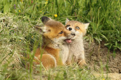 Two fox cubs playing near the den Stock Image