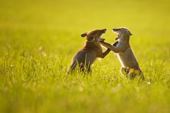 Two fox cubs playing in summer sunset Royalty Free Stock Photos