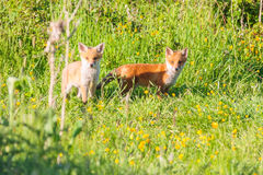 Two fox cubs watching Stock Images