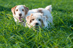 Two fox dog in a green field Stock Photos