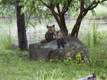 Two Fox Kits on a Rock Royalty Free Stock Image