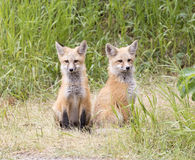 Two fox kits waiting for dinner Stock Image
