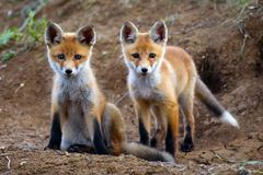 Two Fox standing near the hole and looking at the camera stock photos
