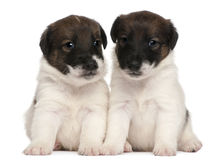 Two Fox Terrier puppies, 1 month old, sitting Royalty Free Stock Images