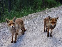 Two foxes on a path. Two foxes on the path of the birth of the Guadalquivir river in the natural park of the Sierra de Cazorla Segura and the villas in the stock images