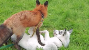 Two foxes play on green grass in park on summer afternoon. Adult animals with white and orange furs play on verdant lawn, stamped with paws and grab each other stock video footage