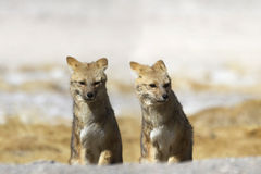 Two foxes together on the outlook Royalty Free Stock Photos