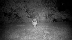 Two foxes in urban garden at night. Two foxes in urban garden at night feeding on the lawn stock video footage