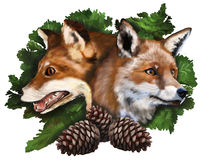 Two foxes on white background Royalty Free Stock Image