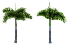 Two foxtail palms Royalty Free Stock Images