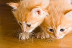 Two foxy kittens on the floor. Two curious kittens on the floor Stock Photos