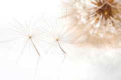 Two fragile pappuses of the salsify flower Royalty Free Stock Images