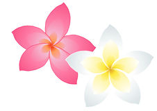 Two frangipani flowers Royalty Free Stock Image