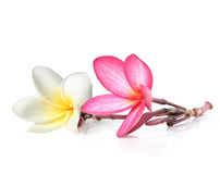 Two frangipani flowers Stock Image