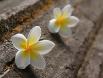 Two frangipani flowers. At stone background Royalty Free Stock Photo