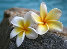 Two Frangipanis. Two different yet similiar frangipanis on a rock beside a pool Stock Image
