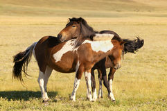 Two free horses Stock Photography