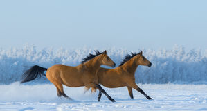 Two free horses gallops across field in winter. Royalty Free Stock Images