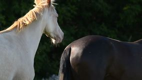 Two free horses on pasture. Closeup stock footage