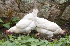 Two Free Range Chickens Scratching Among Sweet Potato Plants Stock Photos