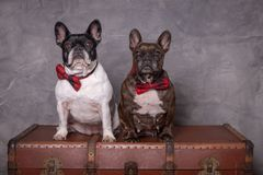 Two french bulldog posing with red tie royalty free stock photos