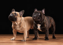 Two French bulldog puppies on black background with wooden textu Royalty Free Stock Photography