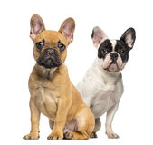 Two French Bulldog puppies, 4 months old, sitting Stock Images