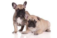 Two french bulldog puppies Royalty Free Stock Image