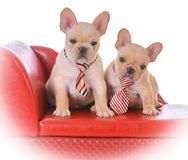 Two french bulldog puppies. Sitting on a red leather couch on white background Stock Image