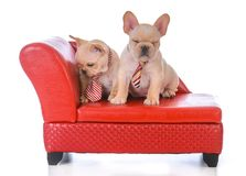 Two french bulldog puppies. Sitting on a red leather couch on white background Royalty Free Stock Photography