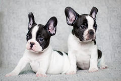 Two french bulldog puppies - twins Royalty Free Stock Image