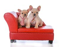 Two french bulldog puppies. Sitting on a red leather couch on white background Royalty Free Stock Image