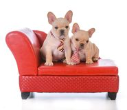 Two french bulldog puppies. Sitting on a red leather couch on white background Royalty Free Stock Images