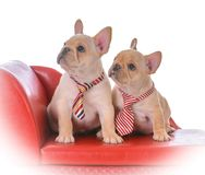 Two french bulldog puppies. Sitting on a red leather couch on white background Royalty Free Stock Photo