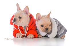 Two french bulldog puppies. Wearing winter jackets Stock Images