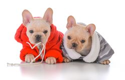 Two french bulldog puppies. Wearing winter jackets Stock Photography