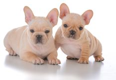 Two french bulldog puppies. On white background Royalty Free Stock Photography