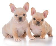 Two french bulldog puppies. On white background Stock Photos