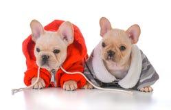 Two french bulldog puppies. Wearing winter jackets Stock Photo