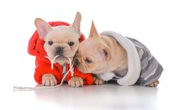 Two french bulldog puppies. Wearing winter jackets Stock Image