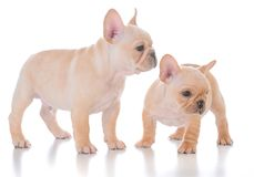 Two french bulldog puppies. On white background Stock Photography