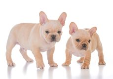 Two french bulldog puppies. On white background Stock Image
