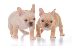 Two french bulldog puppies. On white background Royalty Free Stock Image