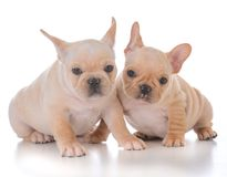 Two french bulldog puppies. On white background Royalty Free Stock Images